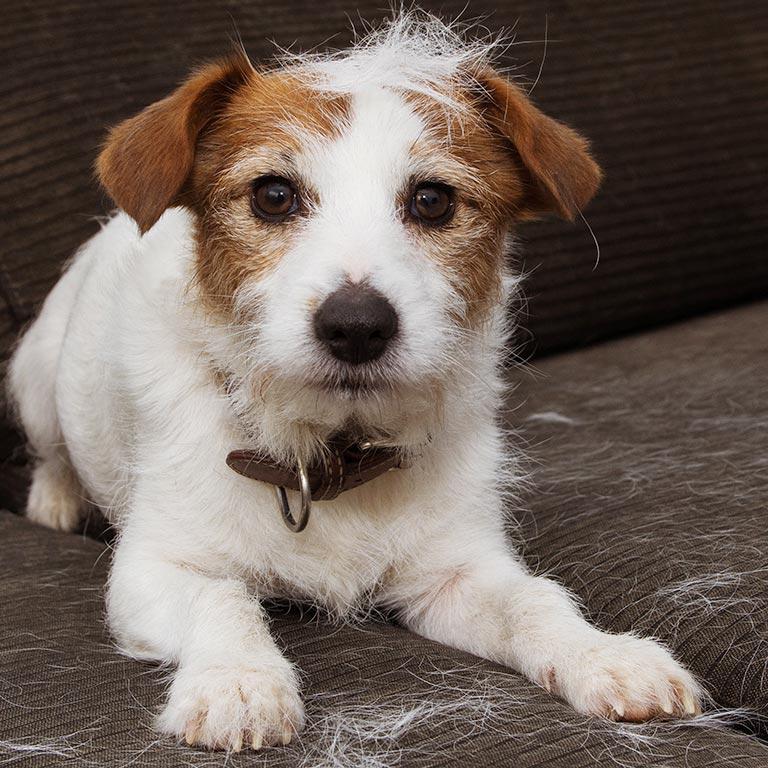 沙发上的狗和毛